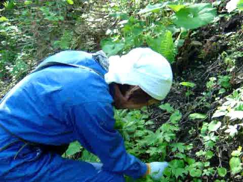 山菜「シドケ」を里山で採取