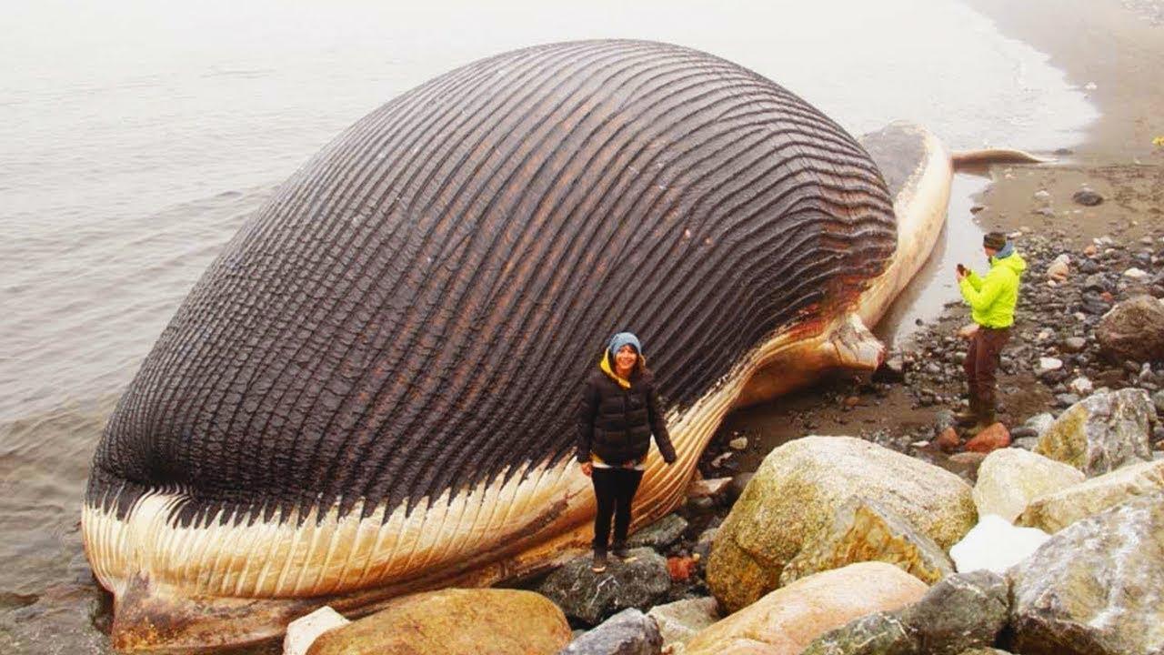 أضخم و اكبر 10 حيوانات في العالم Youtube
