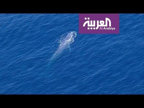 رصد الحوت الأزرق لأول مرة في مياه البحر الأحمر