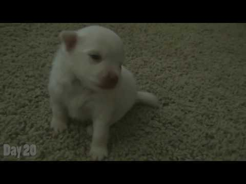 Watching a Puppy Grow - 16-20 Days Old - Newborn Pomeranian Puppy