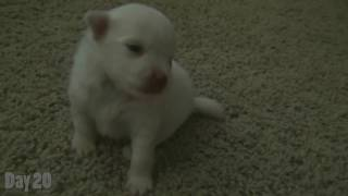 Watching a Puppy Grow  1620 Days Old  Newborn Pomeranian Puppy