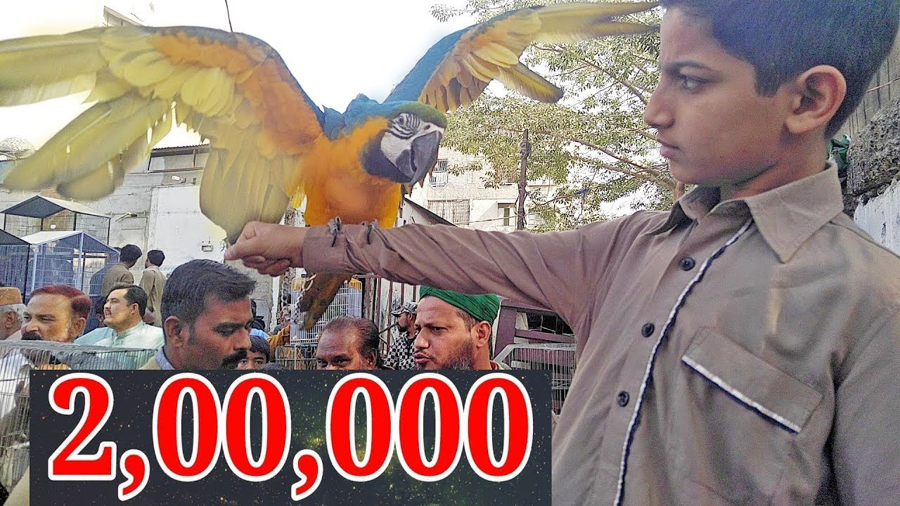 Macaw Price in Pakistan ( Lalukhet Sunday Birds Market 2019)