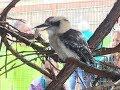 Animal Adventures with Jordan: The Laughing Kookaburra