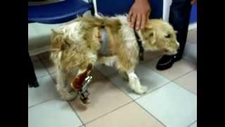 Вывих скакательного сустава, перелом плюсневой кости и пальцев у собаки