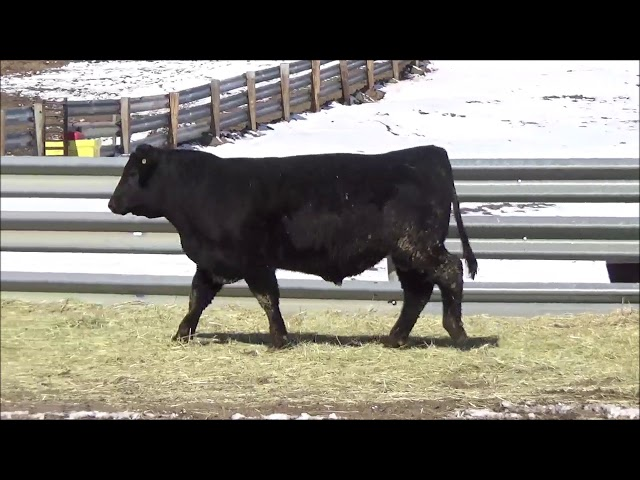 Connealy Angus Lot 159