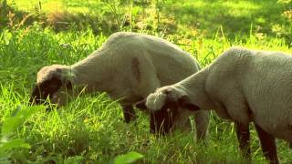 Poznajmy Zwierzęta Hodowlane: Barany- Baw się z nami