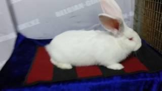Купить кролика великана(, 2017-04-01T16:31:44.000Z)