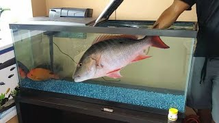Catching FRESHWATER SNAPPERS f…