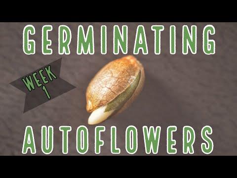 Week 1: How To Germinate Autoflowers