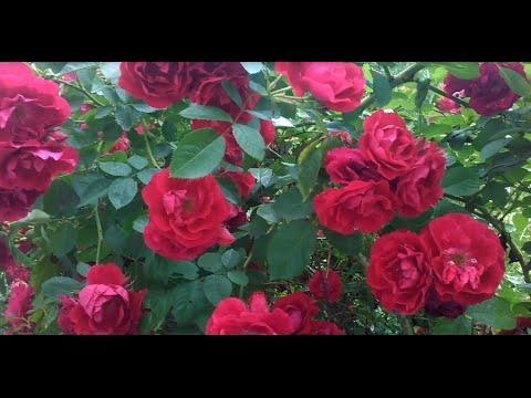 Плетистые розы.  Размножение и уход
