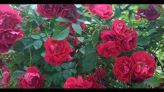 видео Посадка и уход за плетистой розой: как вырастить вьющийся розарий