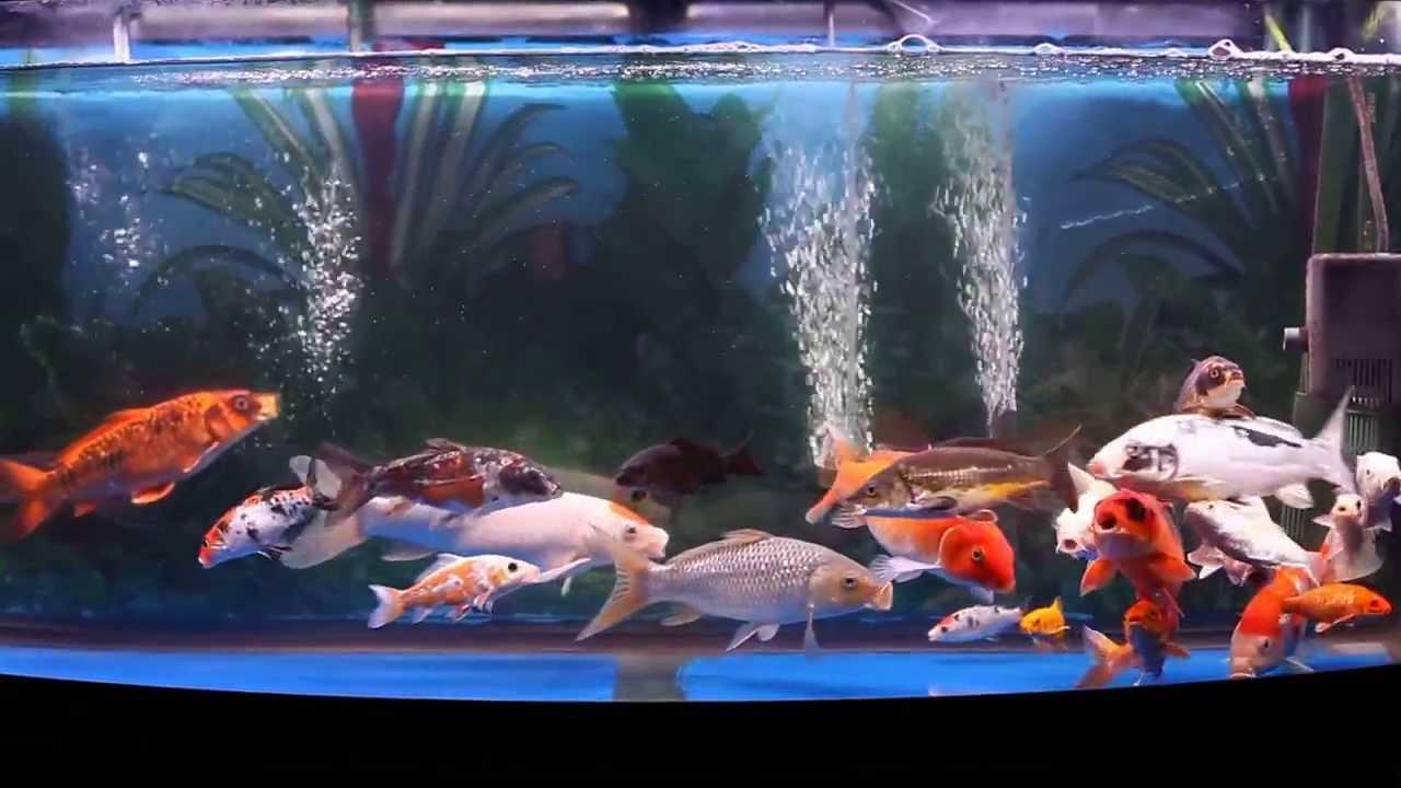 Koi tank 72 gallon update 10 2 2013 youtube for Koi fish tank setup