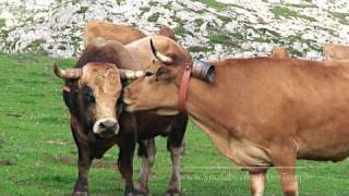 LOVE STORY - BULL AND COW
