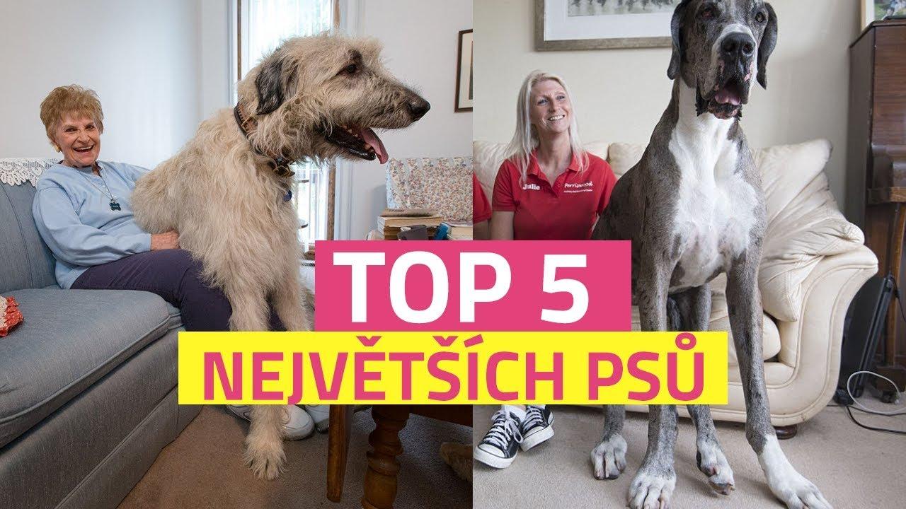 0bacc44c112 TOP 5 největších psů světa - YouTube