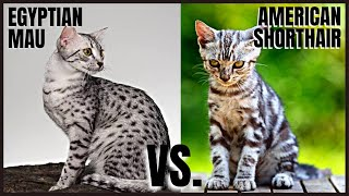 Egyptian Mau Cat VS. American Shorthair Cat