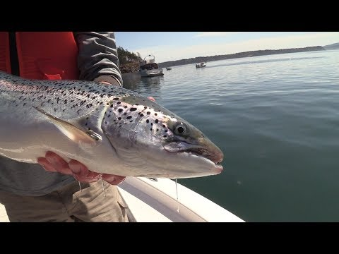 Catching Escaped Atlantic Salmon in Puget Sound