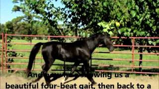 Rocking Chair Canter On A Tennessee Walking Horse!  All Natural!
