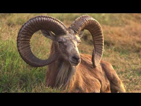 Discourses on an Alien Sky #35 | The Ram and the Golden Fleece