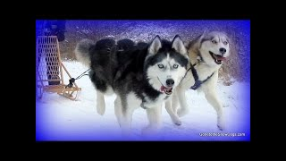 Oakley can PULL a SLED! Siberian Husky pulls Canadian Kicksled