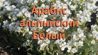 Арабис альпийский Белый (belyy) ???? альпийский арабис Белый обзор: как сажать, семена арабиса Белый