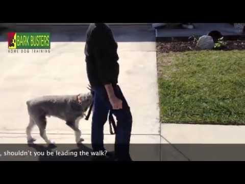 Standard Schnauzer - Dog Training of Fort Myers - Patrick Logue