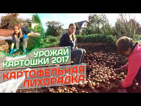 видео: Картофельная лихорадка // Урожай картошки 2017 // Жизнь в деревне