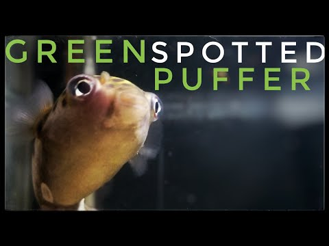 The REAL TRUTH About The Green Spotted Puffer Fish!
