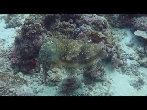 Color Chaging Cuttlefish at Mabul in Borneo Malaysia