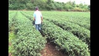 Tea Plantation Farming in Taiwan | Tea Pursuit