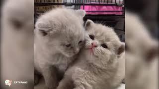 British Shorthair Cat Breed # 1