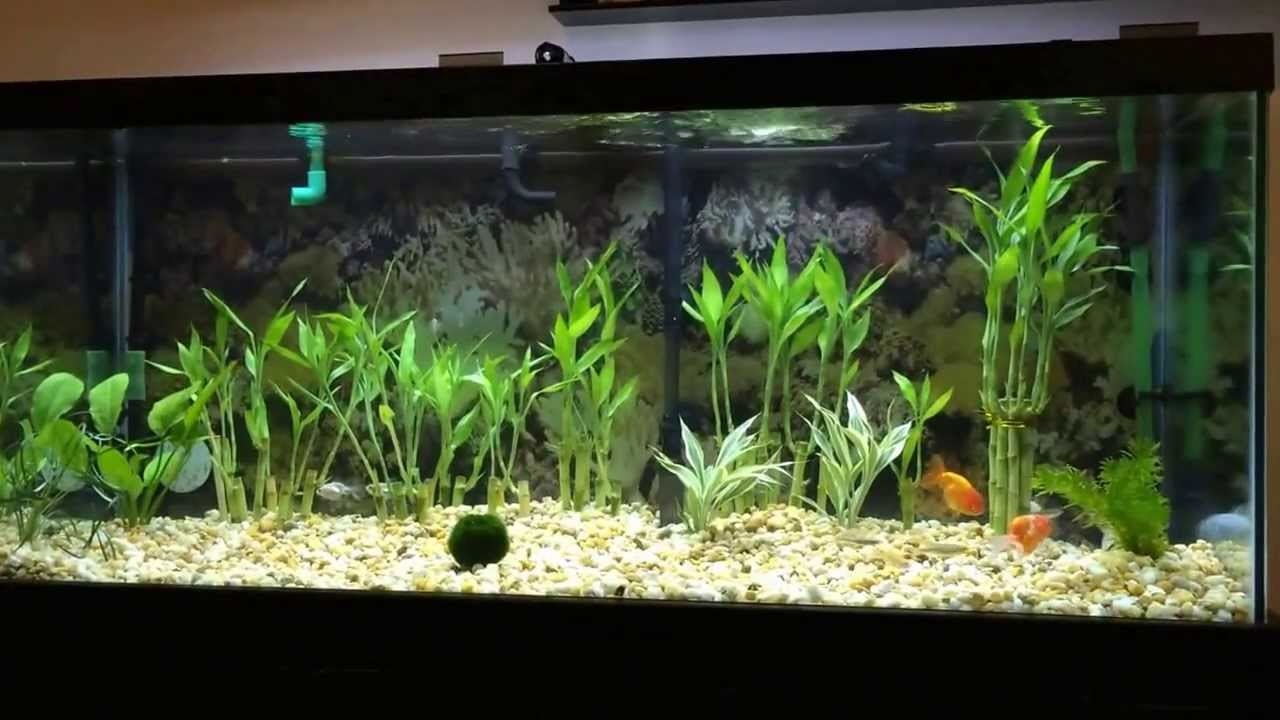 Koi ranchu goldfish live plants moss ball in 75 for Carpe koi aquarium 300 litres
