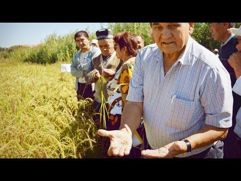 Узгенский рис в