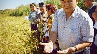 Узгенский рис в Кыргызстане. Главные секреты выращивания    Сделано в Евразии