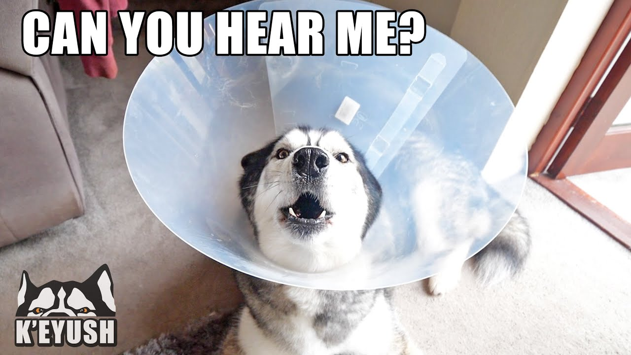 The CONE of SHAME Makes my HUSKY Louder! Singing Lamp! - download from YouTube for free