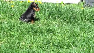 For Sale - Akc Yorkie Puppies