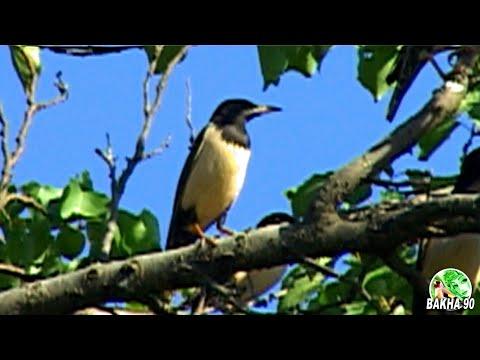 Птицы на тутовом дереве Шелковица