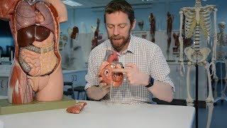 Heart (anatomy) thumbnail