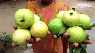 Farm Fresh GUAVA in My Village | Making GUAVA JUICE | VILLAGE FOOD