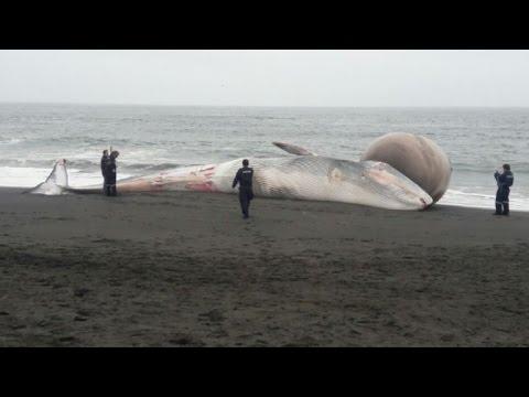Entierran en Chile a ballena varada con protuberancia