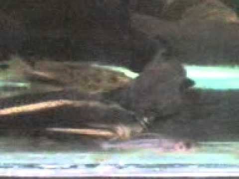 Monster Fish Tank - Niger, Pangasius, Tyretrack Eel, Endlicherii, Giraffe catfish from YouTube · Duration:  4 minutes 50 seconds  · 15,000+ views · uploaded on 3/12/2011 · uploaded by Lyndaloo97