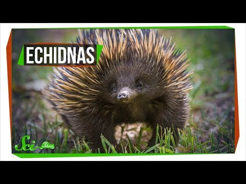 Why Echidnas Are Evolutionary Misfits