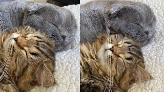 Scottish Fold Cat Breed # 3