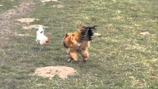 combat de coqs