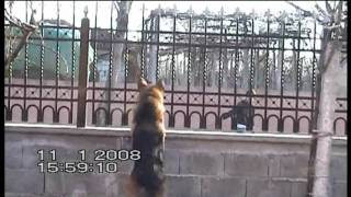 German Shepherd Barking At The Litle Kid With A Dog