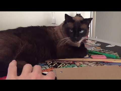 Сноу шу фото кошки, цена, описание породы, характер