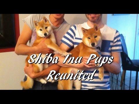 Shiba Inu Pups Reunited