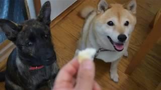 当時、生後4ヵ月の幼い甲斐犬と、13歳の老いた柴犬。 ☆チャンネル登録お...