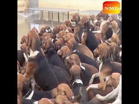 Amazing dog farm. Beagle dog breed farm