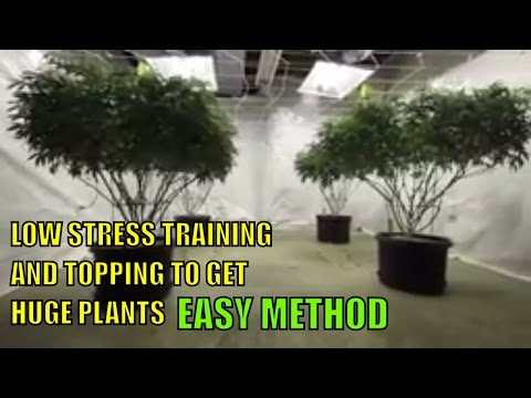 GETTING CANNABIS PLANTS HUGE WITH LOW STRESS TRAINING AND TOPPING.