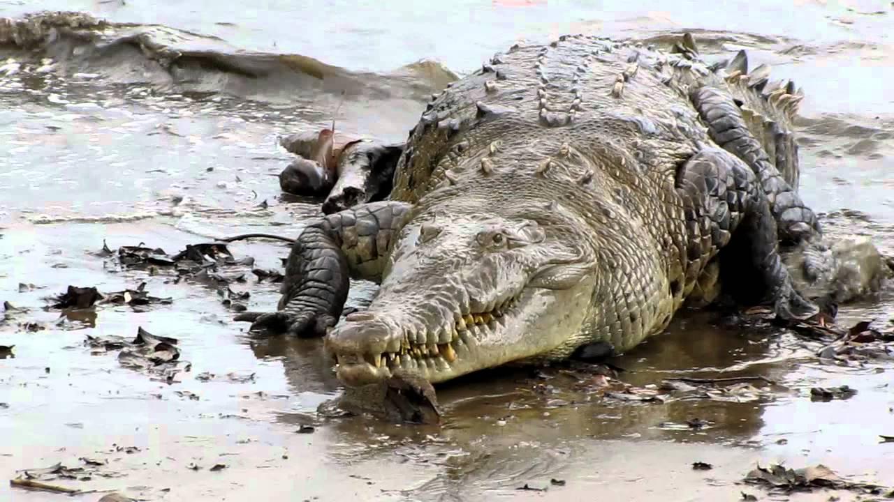 Giant Saltwater Croc Youtube